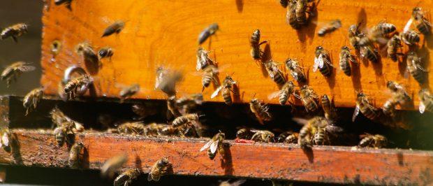 Amerika'dan güzel haber: Arı popülasyonu yükselişte
