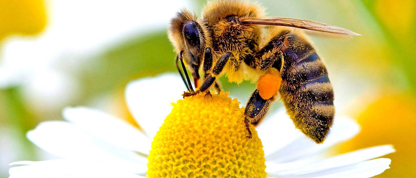 Bal arısı ile ilgili görsel sonucu
