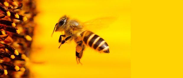Arılar için güzel haber: Neonikotinoidler yasaklandı!