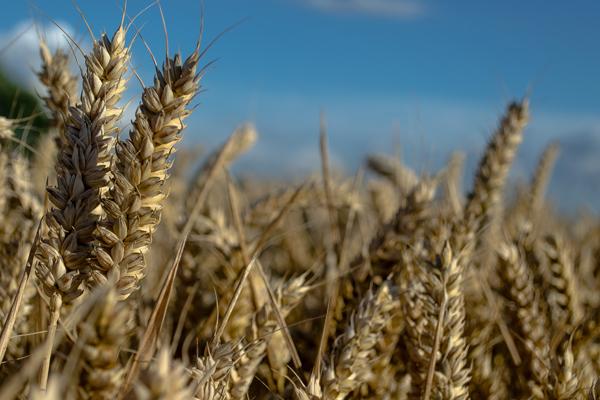 Siyez buğdayı hakkında her şey