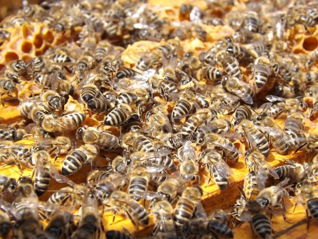 Pestisit kullanımı, Aydın'da milyonlarca balarısının zehirlenmesine neden oldu