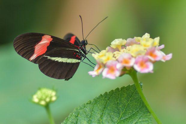 Türkiye'nin kelebeklerini tanıyalım ve koruyalım