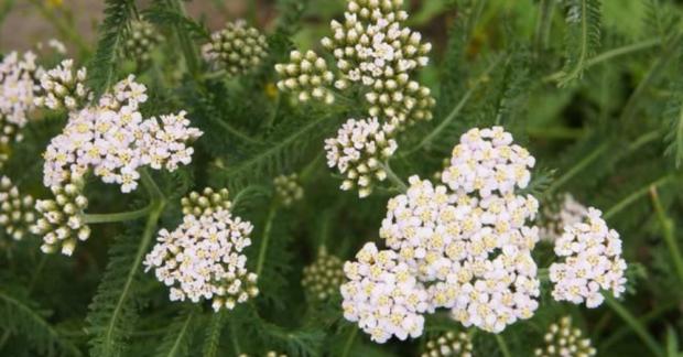 Şifa Çiçekleri Yetiştirelim: Civanperçemi