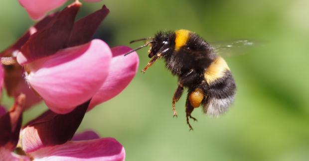 Pestisitler bombus arılarının öğrenme sürecini olumsuz etkiliyor