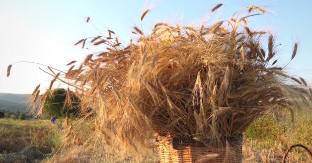 Dünyayı dolaşan buğdaylar