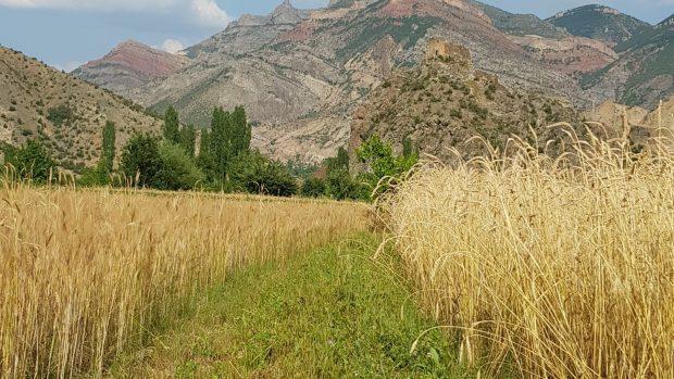 Tohum Hikâyeleri – Kırik Buğdayı