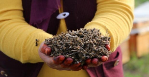 Milyonlarca arı pestisitler nedeniyle öldü