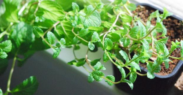 Saksıda yeşillik nasıl yetiştirilir?