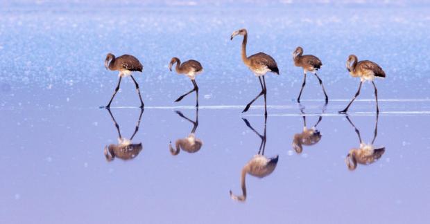 Yanlış politikalar ve denetimsizlik flamingo yavrularını öldürdü